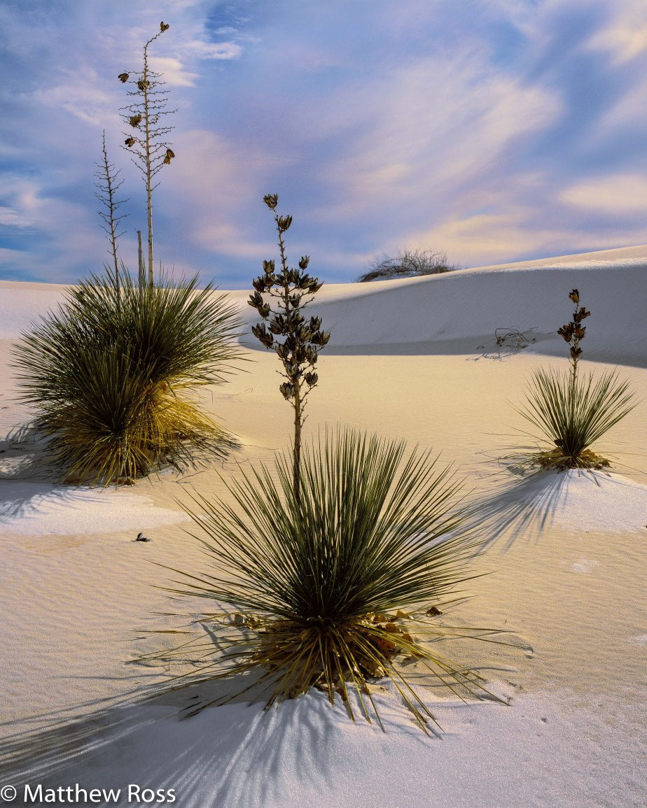 THREE YUCCAS, SNOW ON WHITE SANDS White Sands National Monument, NewMexico.